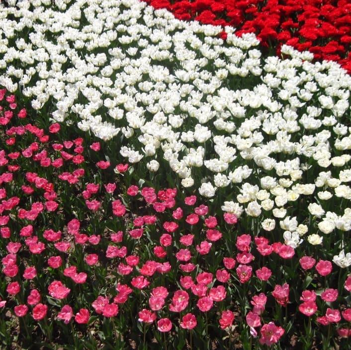 Парад тюльпанов в Крыму 2019 когда открытие + фото